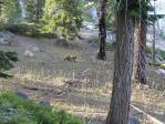 Young bear Yosemite
